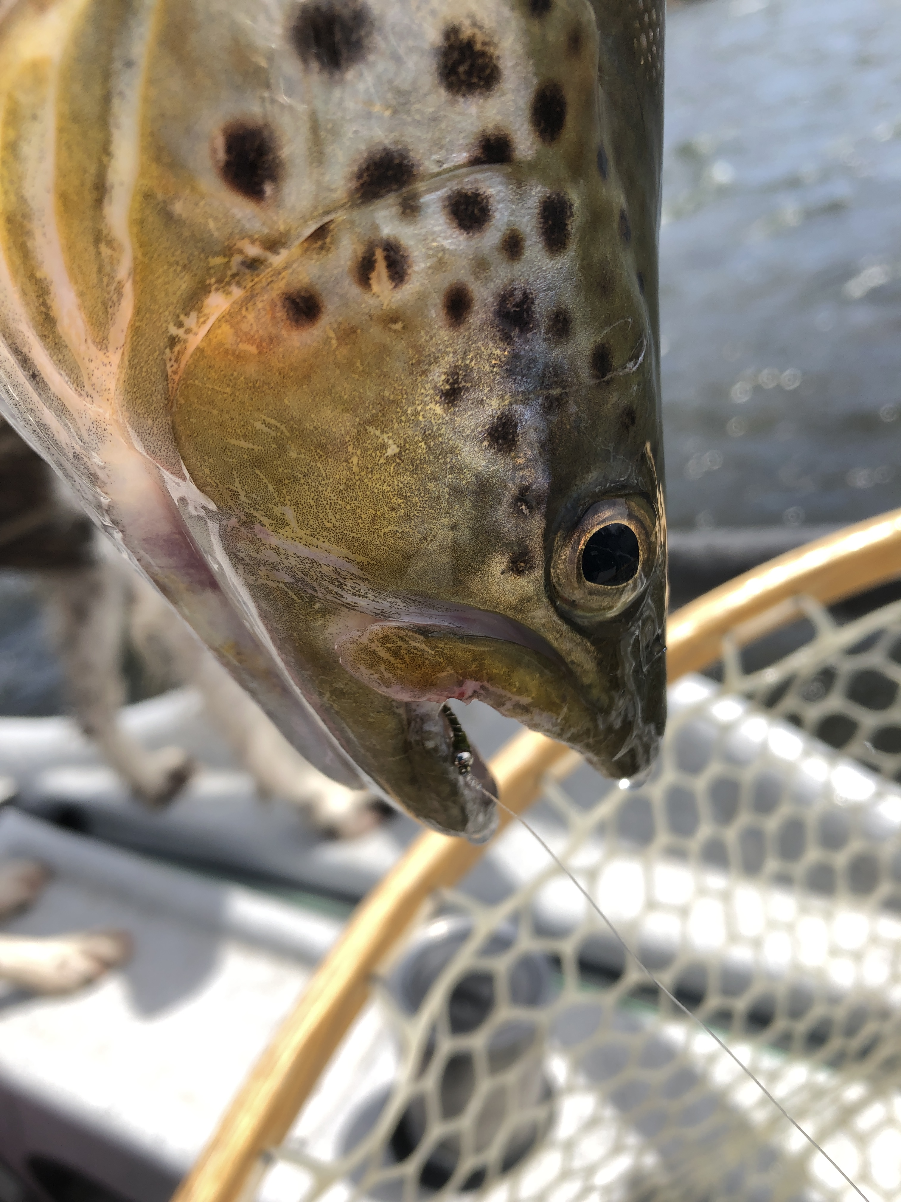19 inch Madison River brown trout taken while fly fishing on an Olive Zebra midge near Ennis Montana