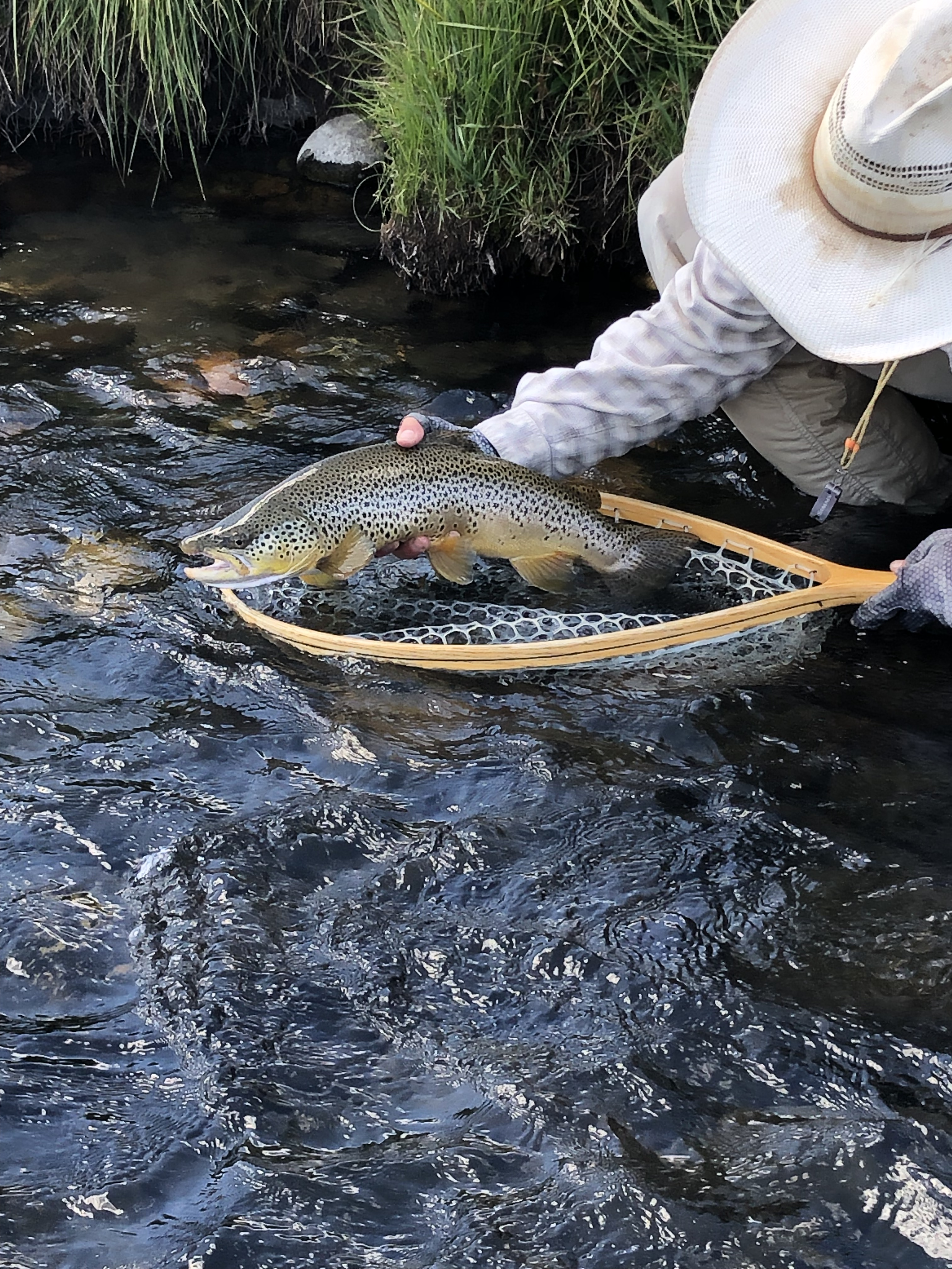 Large brown trout have been looking for grasshoppers on the Madison River near Ennis Montana.